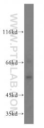 18136-1-AP - RAB11FIP2