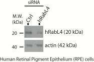 15017-1-AP - RABL4 / IFT27