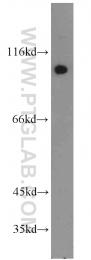 13176-1-AP - RALBP1