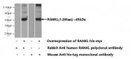 23408-1-AP - CD254 / RANKL