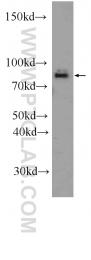 12556-1-AP - RAPGEF5