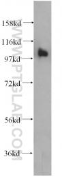 14150-1-AP - RASA3