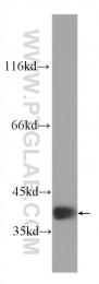 60292-1-Ig - RBM4 / RBM4A