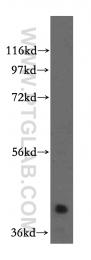 15412-1-AP - RBM4B / RBM30