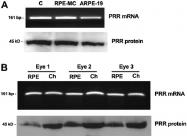 10926-1-AP - Renin receptor