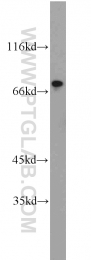 10616-1-AP - ROR-alpha / RORA
