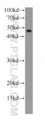 66130-1-Ig - RPL3