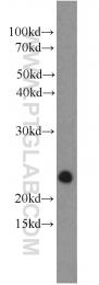 12530-1-AP - RRAS2 / TC21