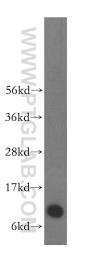10245-1-AP - S100A6 / Calcyclin