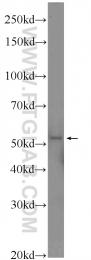 14303-1-AP - Secernin-1 (SCRN1)