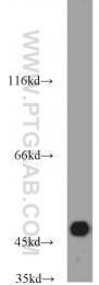 13818-1-AP - Septin-7