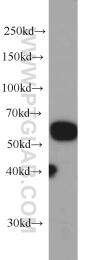 66052-1-Ig - SERPINC1 / Antithrombin-III
