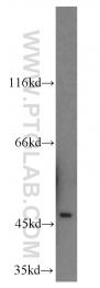 12558-1-AP - Neuroserpin / SERPINI1