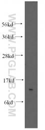 12379-1-AP - SF3B14 / SAP14