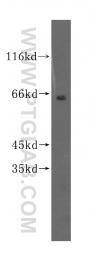 16977-1-AP - SGOL1 / SGO1