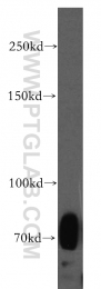 13230-1-AP - CD170 / SIGLEC5