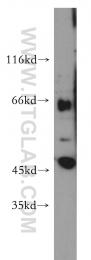 13594-1-AP - SLC22A2 / OCT2