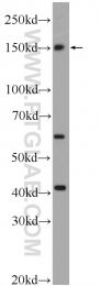 24758-1-AP - SMC4 / CAPC