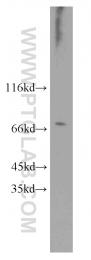 10697-1-AP - RCC1 / CHC1