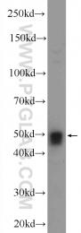 24297-1-AP - SNRNP48 / C6orf151
