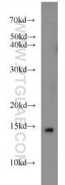 10379-1-AP - snRNP-D3 / Sm-D3