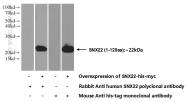 13062-1-AP - Sorting nexin-22 (SNX22)
