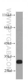 60059-1-Ig - Syntaxin 6 / STX6