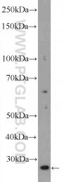 16114-1-AP - TAF11 / TAF2I