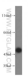 16739-1-AP - TASP1