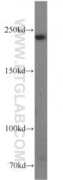 14168-1-AP - Talin-1 (TLN1)