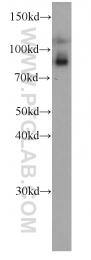 66138-1-Ig - TRPC4AP / TAP1 / TRUSS