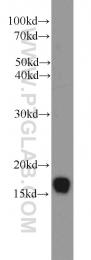 11080-1-AP - UBE2A / RAD6A