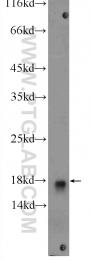 14415-1-AP - UBE2L3 / UBCH7