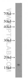 10243-1-AP - UBE2N / BLU