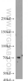 23372-1-AP - Ubiquilin-3 (UBQLN3)