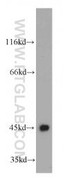 21705-1-AP - UQCRC1 (Complex III subunit core 1)