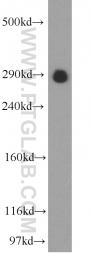 55054-1-AP - USP9X