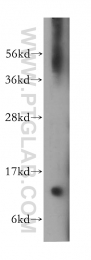 13115-1-AP - VAMP-1 / Synaptobrevin-1