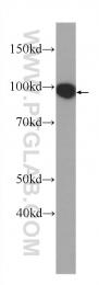 60316-1-Ig - TER ATPase / VCP