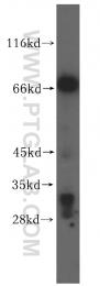 16896-1-AP - VPS33A