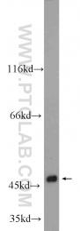 24201-1-AP - WNT6