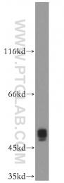 10037-1-Ig - IAP3 / BIRC4