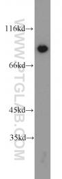16389-1-AP - XRCC5 / Ku80 / Ku86
