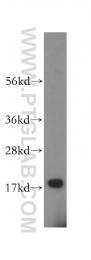 16595-1-AP - ZNHIT1