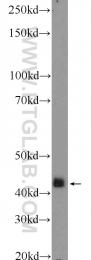 14064-1-AP - MAP kinase p38 alpha / MAPK14