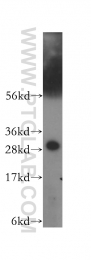 11648-2-AP - 14-3-3 protein eta