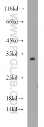 12381-1-AP - 14-3-3 protein gamma