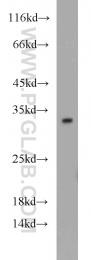 12381-1-AP - 14-3-3 protein gamma