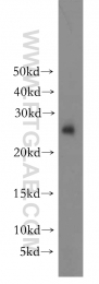 15222-1-AP - 14-3-3 protein eta