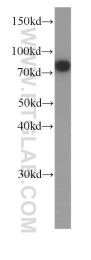 60254-1-Ig - Zyxin